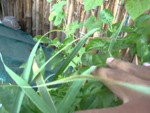 Homemade Aquaponics update 24 April