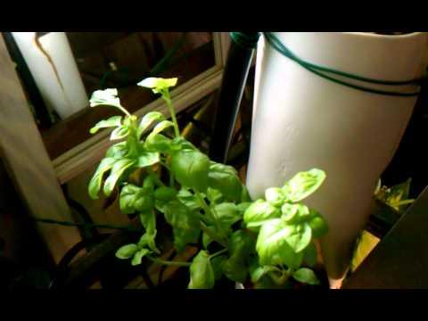 Tomato vine update - it's 5 feet tall