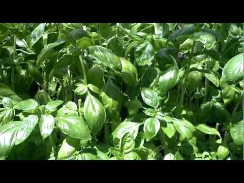 Lloyds Aquaponics Basil harvest aug.6