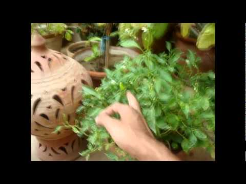 Homemade Aquaponics update 10 Aug