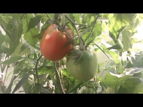 Summer Aquaponic Greenhouse