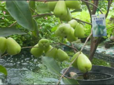 City -farming 蓮霧花與蝶 wax apple koi fishs banana バナナ  蓮の霧 Green Roof