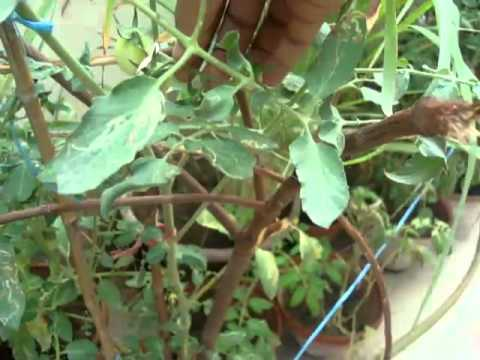 Homemade Aquaponics and container garden update 31 Aug