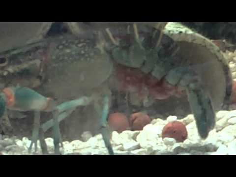 Pregnant Crayfish in Aquaponic Tank