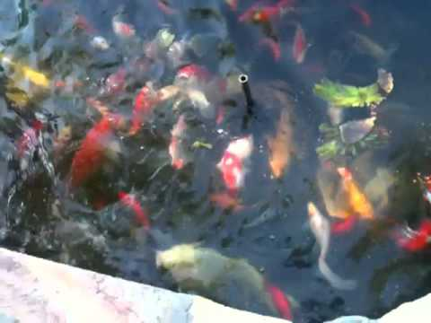 Koi & Goldfish feeding at Sahib's home