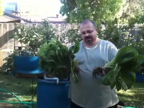 Aquaponic Lettuce Growth