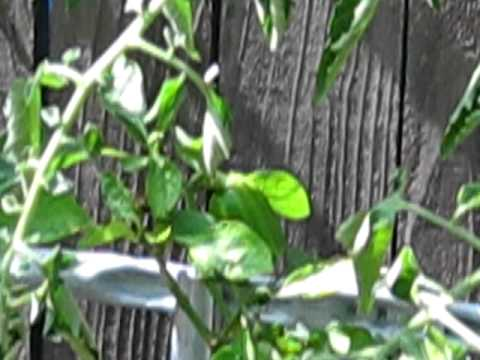 Aquaponics update 06/29/2011 part 2 of 2
