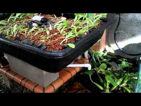 Lloyds aquaponics Cypress, Nov. 29, 2011 update