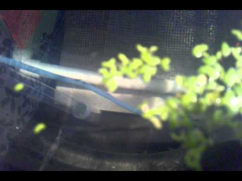 Baby Malaysian prawns in nursery tank