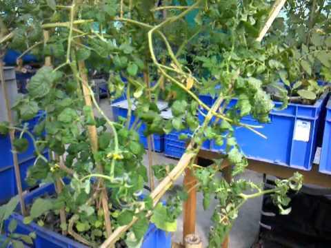 Kolkata Urban Food Garden Update Dec 29 2011