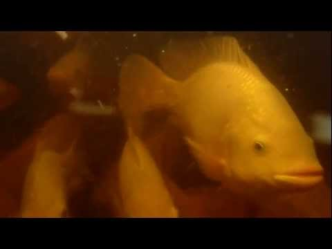 Aquaponic - Under water tilapia
