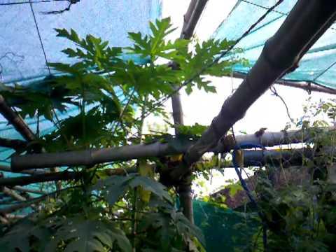 Urban Food Garden Update 3rd March 2012