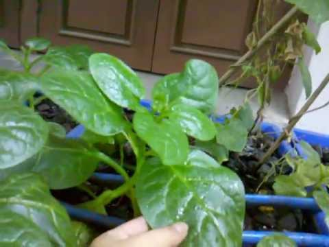 Urban Food Garden Update 25th June 2012