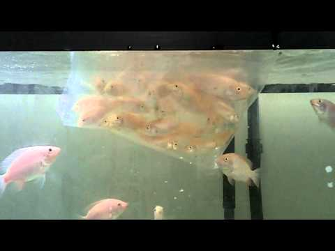 New Hawaiian Gold Tilapia and Red Tilapia Update