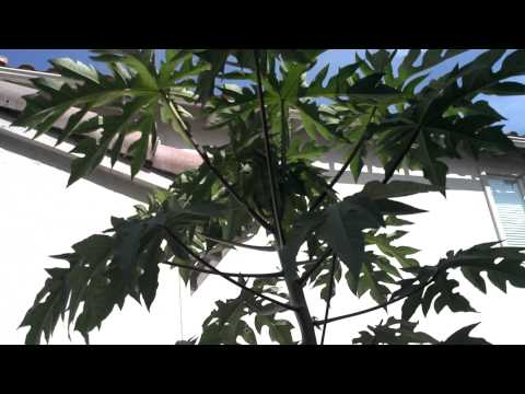 Lloyds Cypress aquaponics update Oct.6,2012 papaya