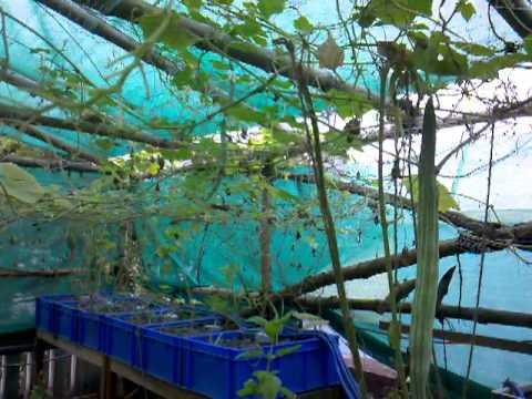 Urban Food Garden Update 27 Aug 2012