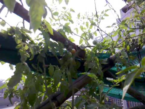 Urban Food Garden Update 5th Feb 2013