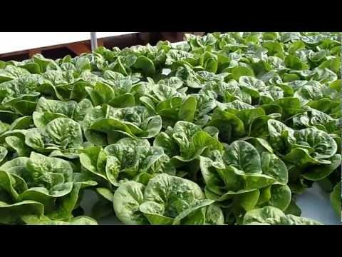 DWC Raft, lettuce at HannaLeigh Farm home of Ausin Aquaponics by Rob Nash
