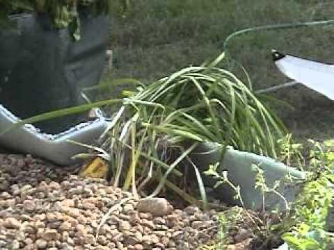 119 Planting seeds in aquaponics, and propagating.wmv