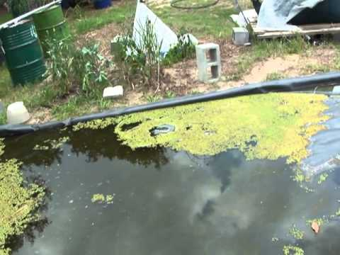 Duckweed / first tries of growing in mass.   Love to hear from others who have this down.