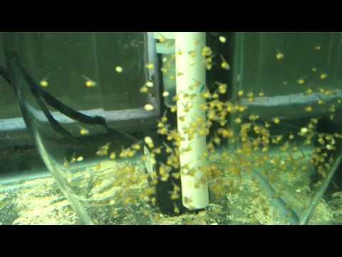 Tilapia egg tumbler