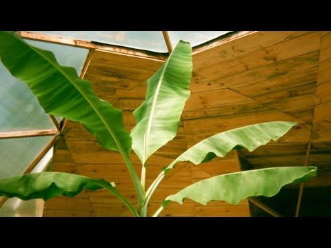 Banana Cam - Aquaponic growing in New England
