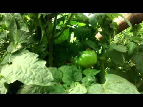 Urban Food Garden Update 2nd Jan 2015
