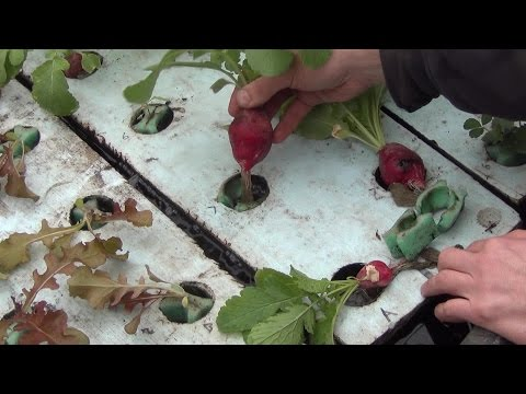 Aquaponic Radish using the GrowGrip
