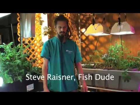 How to Introduce New Fish to your Aquaponic System