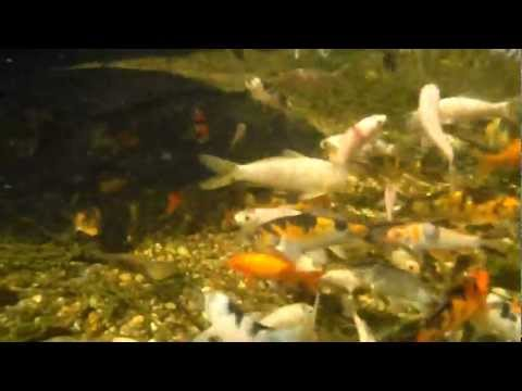 Under water camera - Koi pond.MP4