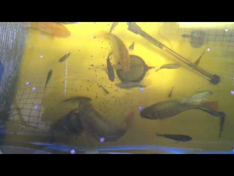 June 2012 Aqua ponics Green House update on 60 Blue Tilapia
