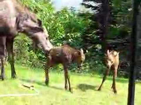 Baby moose in sprink sprinkler