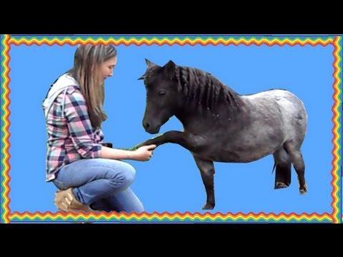 Miniature Horse Does Dog Tricks
