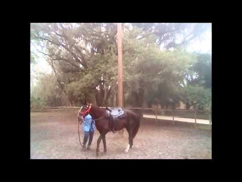 Missouri Foxtrotter Gaits -Teaching Dolly to Canter Pt 1
