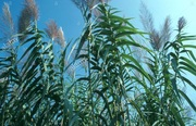 Information Session on Arundo in our Creeks