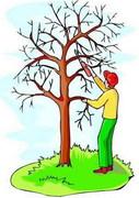 Summer Fruit Tree Pruning