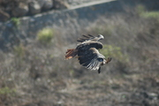 Hawk Swooping down