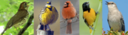 Songbirds of the Northeast