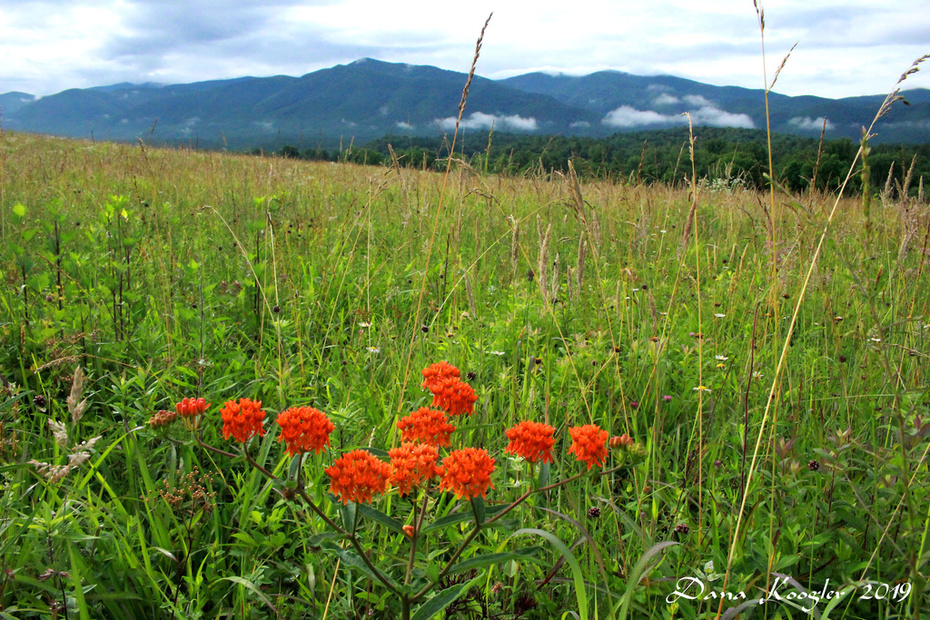 Butterfly Weed and Mountains Cades Cove 2019