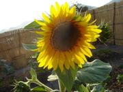 Malawian Sunflower