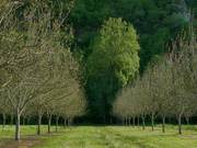 walnut orchard in france