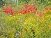 Canadian Autumn, field 2011