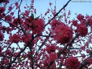 Peach Tree flowers March 2012 compressed url