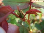 Rose bud already! 26 March 2012
