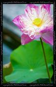ดอก...