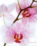 Fleur Olby - orchidée