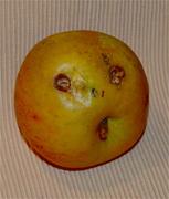 Pomme voyante                                 DSC_0489