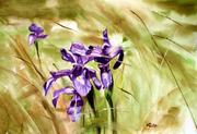 Iris pyrénaica