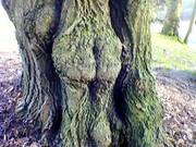 arbre fesses