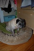 Tex the sewing pug